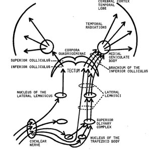 Nuclei of the trapezoi...